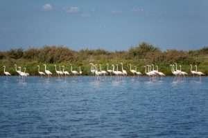 Reserva Natural del Estuario del Tajo_flamencos