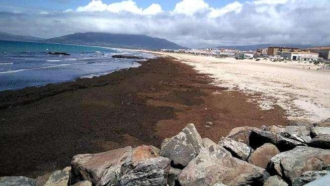 El alga asiática se ha expandido en los últimos años por el litoral de Málaga, Cádiz e Islas Chafarinas y en la actualidad ha llegado ya a playas de Granada y Almería.